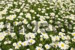 Thumbnail Marguerite meadow Chrysanthemum