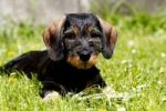 Thumbnail Wire-haired dachshund, puppy, 10 weeks