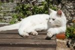 Thumbnail Domestic cat, Bale, Istria, Croatia, Europe