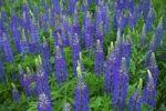 Thumbnail Blue lupines (Lupinus)