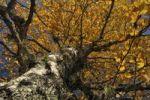 Thumbnail Autumnal birch (Betula)