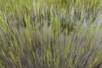 Thumbnail Fresh reeds at a brick pond, Austria, Europe