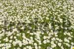 Thumbnail Marguerite meadow Chrysanthemum