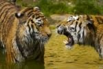 Thumbnail Two Tigers (Panthera tigris)