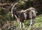 Thumbnail Goat, Glendalough, Wicklow Mountains, County Wicklow, Republic of Ireland, British Isles, Europe