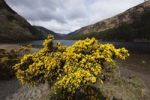 Thumbnail Furze or common gorse (Ulex europaeus), Upper Lake, Vale of Glendalough, Wicklow Mountains, County Wicklow, Republic of Ireland, British Isles, Europe