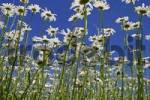 Thumbnail Marguerite Chrysanthemum