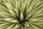 Thumbnail Agave, from above