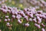 Thumbnail Thrift, Sea-thrift (Armeria maritima), Republic of Ireland, British Isles, Europe