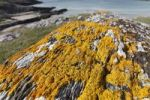 Thumbnail Yellow lichen on rock, Barley Cove, Mizen Head Peninsula, West Cork, Republic of Ireland, British Isles, Europe