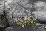 Thumbnail Thrift, Sea-pink (Armeria maritima) on rock, Beara Peninsula, Cork, Republic of Ireland, British Isles, Europe