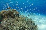 Thumbnail Coral, Keramasyotou Island, Japan, Asia