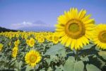 Thumbnail Sunflower field