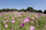 Thumbnail Cosmos flower field