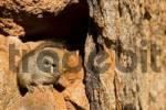 Thumbnail Dassie rat between rocks. Tiras Mountains, Namibia, Africa