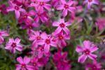 Thumbnail Violet blossoms