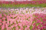 Thumbnail Tulip field (Tulipa)