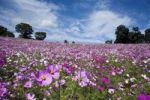 Thumbnail Cosmos flower field, Tokyo, Japan, Asia