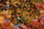 Thumbnail Maple (Acer), red leaves, Japan, Asia