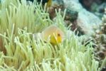 Thumbnail Clownfish or anemonefish (Amphiprioninae), Chuuk island, Micronesia, Pacific Ocean