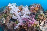 Thumbnail Coral, Chuuk island, Micronesia, Pacific Ocean