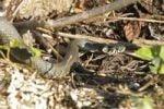 Thumbnail Grass snake (Natrix natrix)
