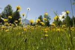 Thumbnail Flowering mountain meadow in spring