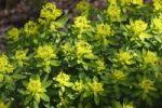 Thumbnail Flowering Irish Spurge (Euphorbia hyberna), Ireland, British Isles, Europe
