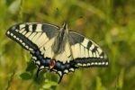 Thumbnail Swallowtail (Papilio machaon)