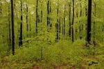 Thumbnail Fresh green beech forest in May with natural regeneration of the European beech (Fagus sylvatica)