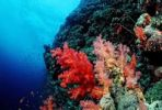 Thumbnail Coral reef with soft corals, Red Sea, Sudan