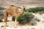 Thumbnail Dromedary (Camelus dromedarius) standing on the roadside, Ras al Jinz, Oman, Middle East