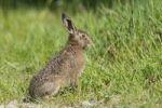 Thumbnail Young Hare (Lepus europaeus)