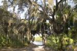 Thumbnail trees with spanish moss in Myakka River State Park Florida Tillandsia usneoides
