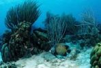 Thumbnail Coral reef with French Angelfish (Pomacanthus paru), Trinidad, Caribbean Sea