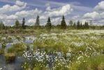 Thumbnail Flowering Cottongrass, Cotton-grass or Cottonsedge (Eriophorum sp.) in raised bog wetlands, Nicklheim, Bavaria, Germany, Europe
