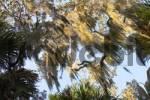 Thumbnail spanish moss in Myakka River State Park Florida Tillandsia usneoides