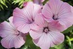 Thumbnail Annual Mallow, Rose Mallow, Royal Mallow, Regal Mallow (Lavatera trimestris), Germany