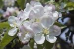 Thumbnail Apple blossom (Malus), Germany