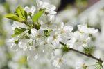 Thumbnail Cherry blossom (Prunus avium), Germany