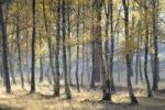 Thumbnail Birch forest (Betula pendula) in autumn