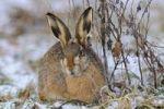 Thumbnail Hare (Lepus europaeus)