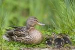 Thumbnail Mallard (Anas platyrhinchos) with chicks