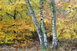 Thumbnail Birch trees (Betula pendula) and beech foliage (Fagus sylvatica)