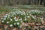Thumbnail Wood anemones (Anemone nemorosa)