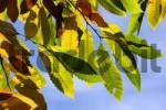 Thumbnail spanish chestnut - sweet chestnut - colourful leaves in autumn Castanea sativa