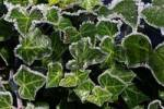 Thumbnail common ivy - english ivy - ivy - leaves covered with hoarfrost Hedera helix