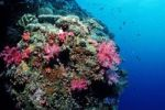 Thumbnail Colorful soft coral in coral reef, Palau, Micronesia, Pacific