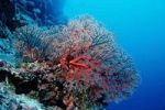 Thumbnail Sea fans in coral reef, Palau, Micronesia, Pacific