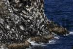 Thumbnail basalt rocks with kittiwakes Larus tridactylus - breeding colony at the volcanic coast of Iceland - Snaefellsnes peninsula, Iceland, Europe